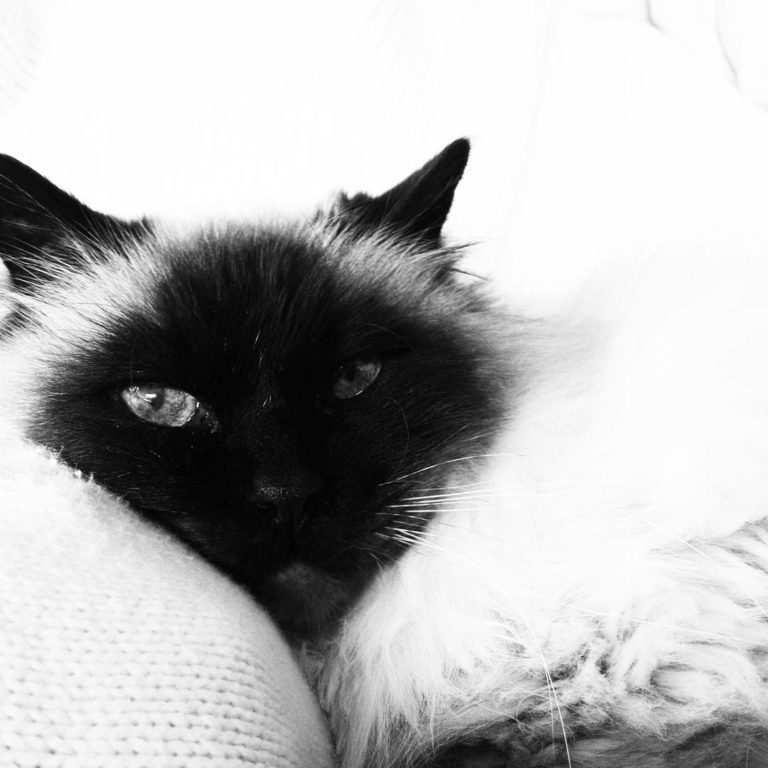 chat-cat-sacre-de-birmanie-blanck-and-white-noir-et-blanc