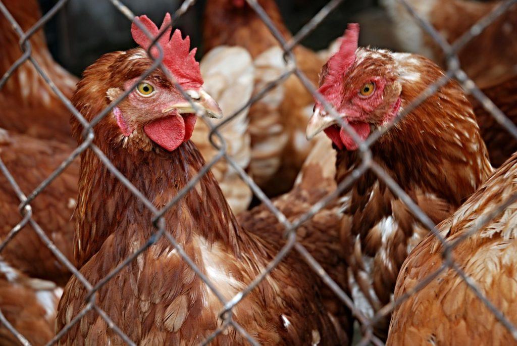 poule-cage