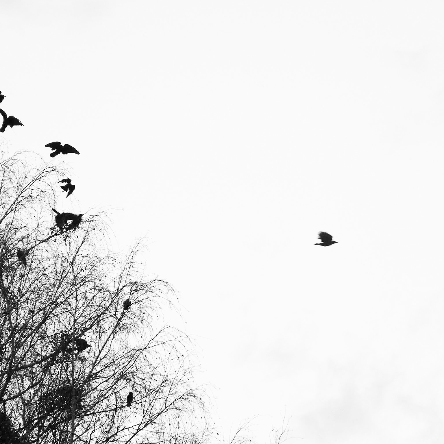 bird-fly-sky-black-and-white