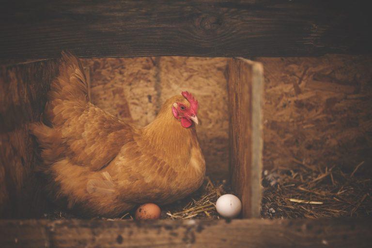 Sauvons les poules : soutenez Poulehouse